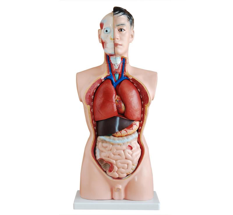 Anatomische Modelle & Lehrmittel