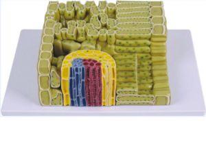 Anatomisches Modell Pflanzenzellstruktur (stark vergrößert) ST-ATM 122