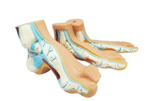 Anatomische Fußmodelle ST-ATM 109