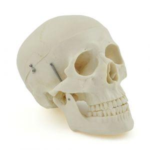 Anatomisches Modell Klassik-Schädel ST-ATM 013