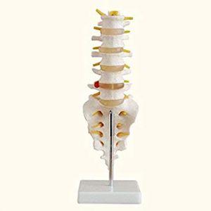 Anatomisches Modell Lendenwirbelsäule ST-ATM 34