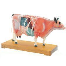 Akupunkturmodell einer Kuh ST-ATM127
