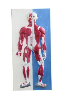 Anatomisch model spieren 3D ST-ATM146