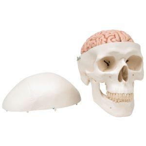 Anatomisches Modell Schädel mit Gehirn ST-ATM 15