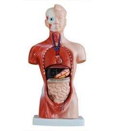 Anatomisches Modell Torso, 26 cm, 15 Teile ST-ATM 055