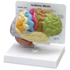 Anatomisches Modell Gehirn in Farbe ST-ATM 58