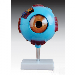 Anatomisches Modell Auge ST-ATM 64