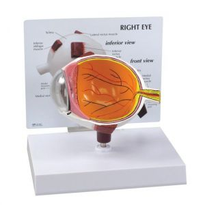Anatomisches Modell Auge ST-ATM 65