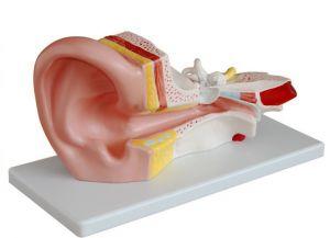 Anatomisches Modell Ohr ST-ATM 69