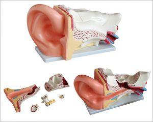 Anatomisches Modell Ohr groß ST-ATM 70
