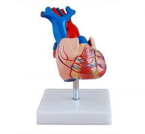Anatomisches Modell Herz, lebensgroß ST-ATM 72