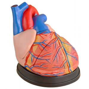 Anatomisches Modell Herz, dreifache lebensgröße ST-ATM 73