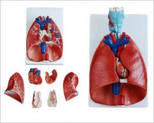 Anatomisches Modell für Brust/Hals, mit Herz und Lunge ST-ATM 79
