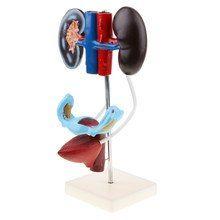 Anatomisches Modell Harnapparat, weiblich ST-ATM 99